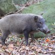 Stock Photo: Japanese wild boar (Sus scrofa) in Japan