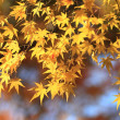 Stock Photo: Tinted autumnal leaves in Japan