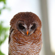 Stock Photo: AfricWood Owl (Strix woodfordii)