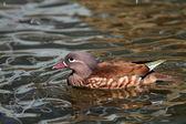 Mandarin duck female in Japan — Stock Photo
