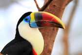 White-throated Toucan (Ramphastos tucanus) — Stock Photo