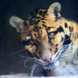 Stock Photo: Clouded Leopard (Neofelis nebulosa)