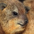 Cape Hyrax (Procavia capensis) — Stock Photo