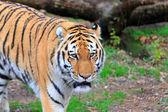 Tigre du Bengale (Panthera tigris) — Photo