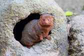 Common dwarf mongoose (Helogale parvula) — Stock Photo