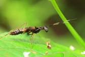 Ant like Mantis (Odontomantis sp) in Sri Lanka — Stock Photo