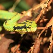 Stock Photo: Green pit viper (Trimeresurus albolabris) in Sri Lanka