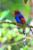 Sri Lanka or Ceylon Blue Magpie (Urocissa ornata) in Sri Lanka — Foto Stock