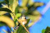 Ashy Prinia or Ashy Wren-Warbler (Prinia socialis) in Sri lanka — Stock Photo