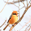 Stock Photo: Bull-headed shrike (Lanius bucephalus) male in Japan