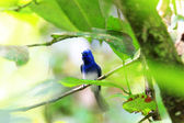 Black-naped Monarch (Hypothymis azurea) male in Sri lanka — Stock Photo