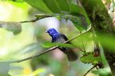 Black-naped Monarch (Hypothymis azurea) male in Sri lanka — Stock Photo