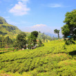 Stock Photo: Ceylon teplantation in Sri Lanka