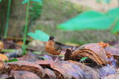 Brown-capped Babbler (Pellorneum fuscocapillus) in Sri lanka — Foto de Stock
