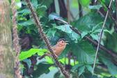 Brown-capped Babbler (Pellorneum fuscocapillus) in Sri lanka — Stock Photo