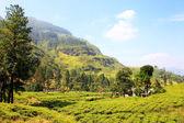 Ceylon tea plantation in Sri Lanka — Stock Photo