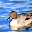 Northern Pintail duck (Anas acuta) male in Japan — Stock Photo