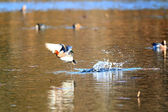 Eurasian Wigeon (Anas penelope) male flying from pond in Japan — Foto de Stock