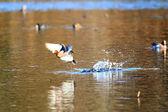 Piadeira (anas penelope) macho voando da lagoa no japão — Foto Stock
