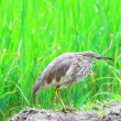 Indian Pond Heron (Ardeola grayii) in Sri Lanka — Stock Photo #38881799