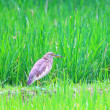 Indian Pond Heron (Ardeola grayii) in Sri Lanka — Stock Photo