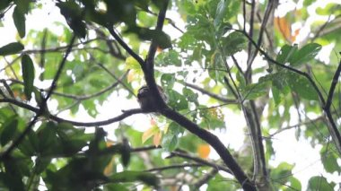 Chestnut-backed Owlet (Glaucidium castanotum) in Sri Lanka — Vidéo