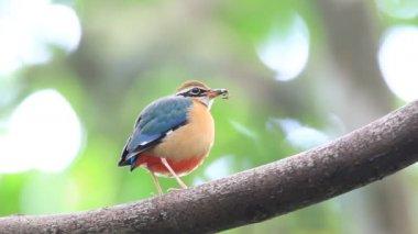 Indian Pitta (Pitta brachyura) in Sri Lanka — Stock Video