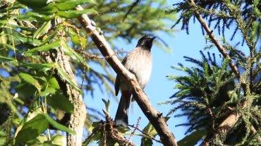 Rot-belüftete Bulbul Pycnonotus Cafer in Sri lanka — Stockvideo