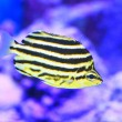 Stock Photo: Stripey fish (Microcanthus strigatus) in Japan