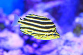 Stripey fish (Microcanthus strigatus) in Japan — Stock Photo