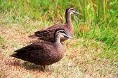 Pacific Black Duck (Anas superciliosa) in Australia — Stock Photo