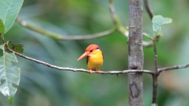 Oriental Dwarf Kingfisher (Ceyx erithaca) in Sri Lanka — Vídeo de stock