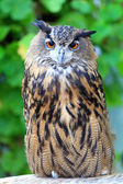 Cape eagle Owl (Bubo capensis) — Foto Stock