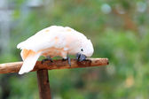Moluccan cockatoo or Salmon-crested cockatoo (Cacatua moluccensis) — Zdjęcie stockowe
