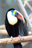 White-throated Toucan (Ramphastos tucanus) — Stock fotografie