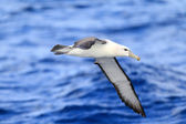 Shy Albatross (Thalassarche cauta) in Sydey — Stockfoto