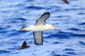 Shy Albatross (Thalassarche cauta) in Sydey — Stock Photo