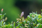 Slender-footed Tyrannulet (Zimmerius gracilipes) in Ecuador — 图库照片