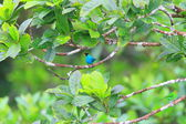 Green Honeycreeper (Chlorophanes spiza) in Ecuador — ストック写真