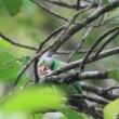 Layard's Parakeet (Psittaculcalthropae) in Sri Lanka — Stock Video #39411305