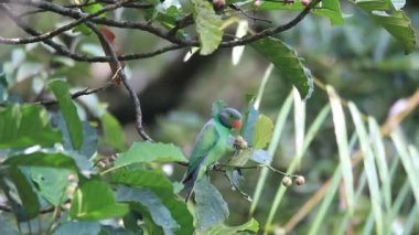 Layard's Parakeet (Psittacula calthropae) in Sri Lanka — Stock Video