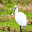 Eurasian Spoonbill (Platalea leucorodia) in Japan — Stock Photo