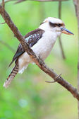 Laughing Kookaburra (Dacelo novaeguineae) in Australia — Stock Photo