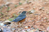 Black-breasted Thrush Turdus dissimilis in Doi Angkhang , North Thailand — Stock Photo