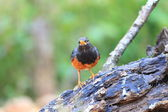 Black-breasted Thrush Turdus dissimilis in Doi Angkhang , North Thailand — 图库照片