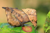 Dead Leaf mimicry Grasshopper (Chorotypus sp) in Sinharaja Forest Reserve, Sri lanka — Stock Photo
