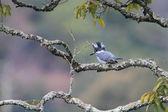 Crested Kingfisher (Megaceryle lugubris) in Japan — Foto de Stock