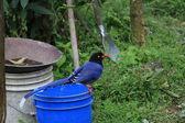 Formosan Blue Magpie or Taiwan Magpie (Urocissa caerulea)  in Taiwan — Stock Photo