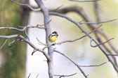 Yellow-bellied Tit (Periparus venustulus) in Japan — Foto Stock