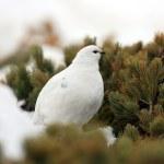 Rock Ptarmigan (Lagopus muta) winter plumage in Japan — Stock Photo